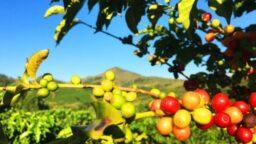 El cafeto y su fruto, planta del cafe, cafeto, fruto del cafe