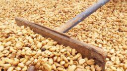 despulpado del grano, secado del grano