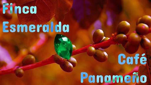 finca esmeralda, hacienda esmeralda, café de Panamá, Café en Panamá, Café Panameño