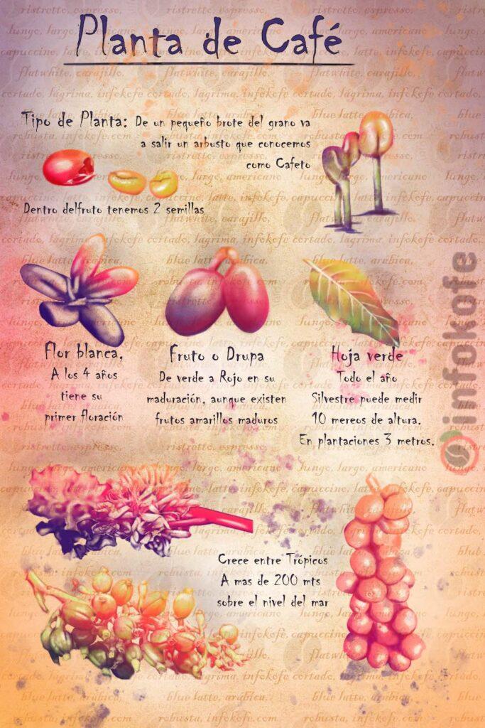 planta de café, flor de café, fruto de café, semilla de café